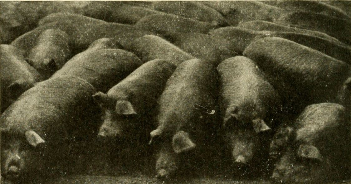 The Phantom Hog Train, Prime Butcher Hogs, 1916