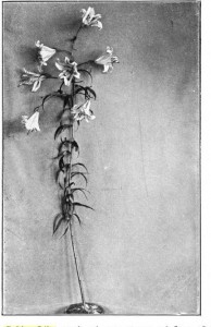 The Golden Lily, produced at a séance, 28 June 1890. Was kept a week, during which time six photographs were taken, after which it dissolved and disappeared