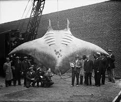 Silas Told and the Devil-Fish A giant manta ray caught off Brielle (New Jersey or the Netherlands?) in 1933. 30 ft. across.