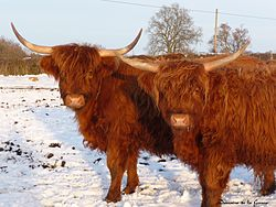 The Man in the Hide: Western Island Oracles Highland Cattle, probably the source of the hide. [Source: Wikipedia.]