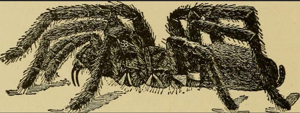 american tarantula Handbook of Medical Entomology 1915