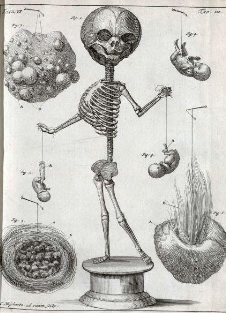 The Little Skeleton, Frederik Ruysch, Little skeleton anatomical preparation. http://memento.muttermuseum.org/detail/ruyschs-thesaurus-anatomicus