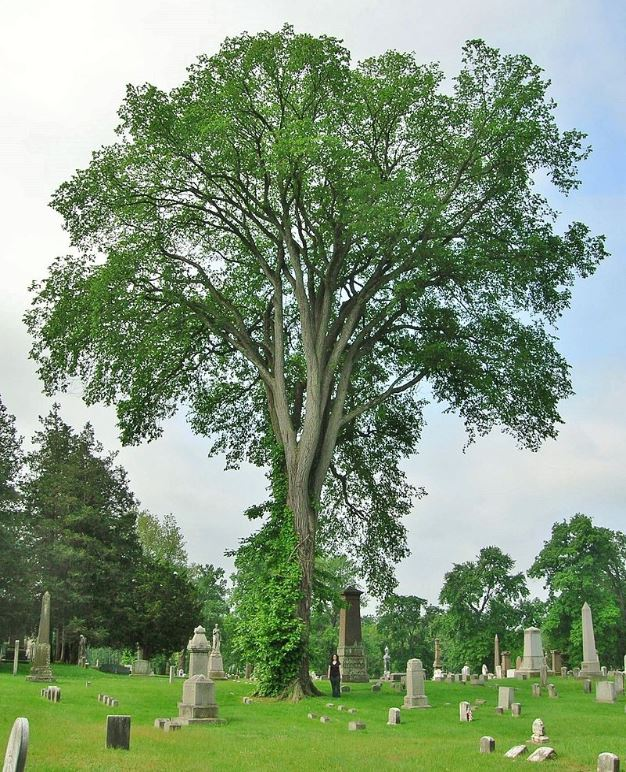 A Hollow Tree Ghost American Elm Tree at Spring Grove Cemetery, Hartford, CT Wikipedia Commons