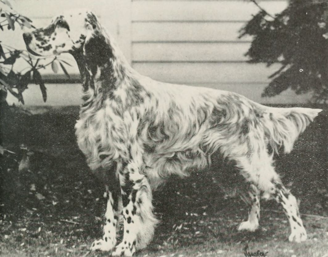 Lassie Came Home English Setter